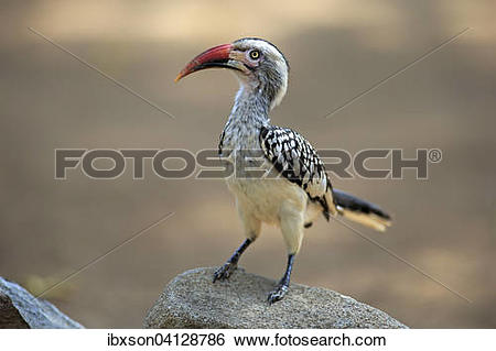 Red-billed Hornbill clipart #17, Download drawings
