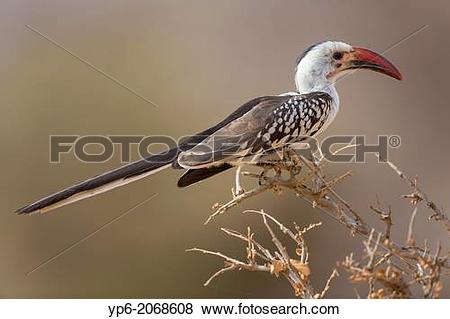 Red-billed Hornbill clipart #15, Download drawings