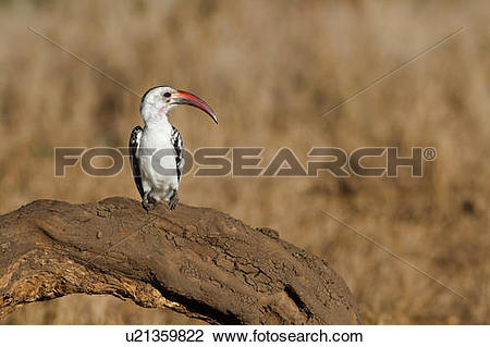 Red-billed Hornbill clipart #16, Download drawings