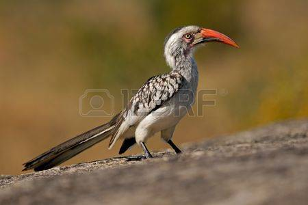 Red-billed Hornbill coloring #10, Download drawings