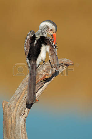 Red-billed Hornbill coloring #11, Download drawings