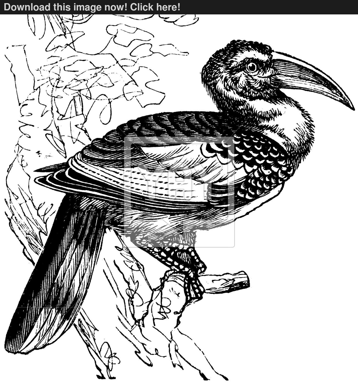 Red-billed Hornbill coloring #20, Download drawings