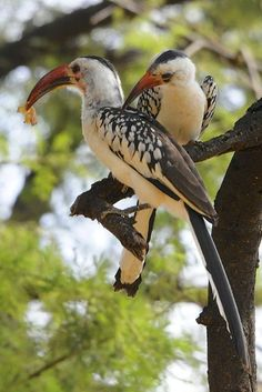 Red-billed Hornbill coloring #5, Download drawings