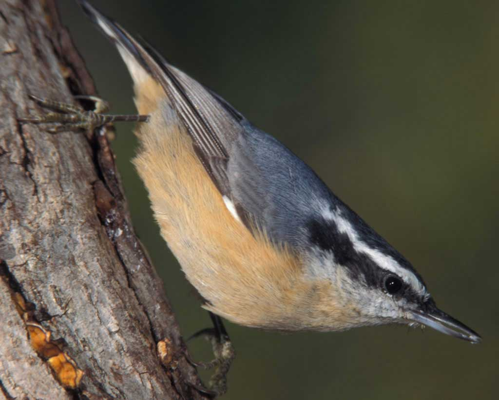 Red-breasted Nuthatch clipart #9, Download drawings
