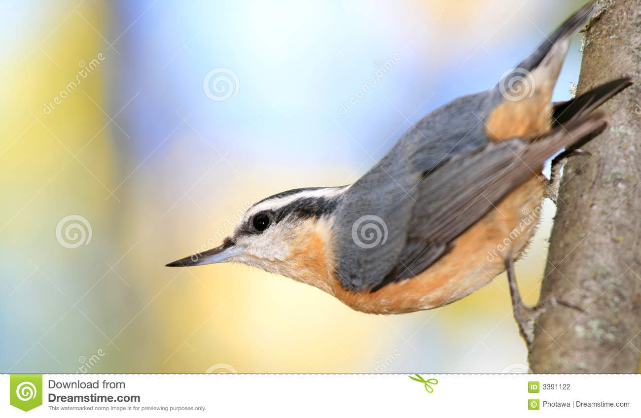 Red-breasted Nuthatch clipart #10, Download drawings