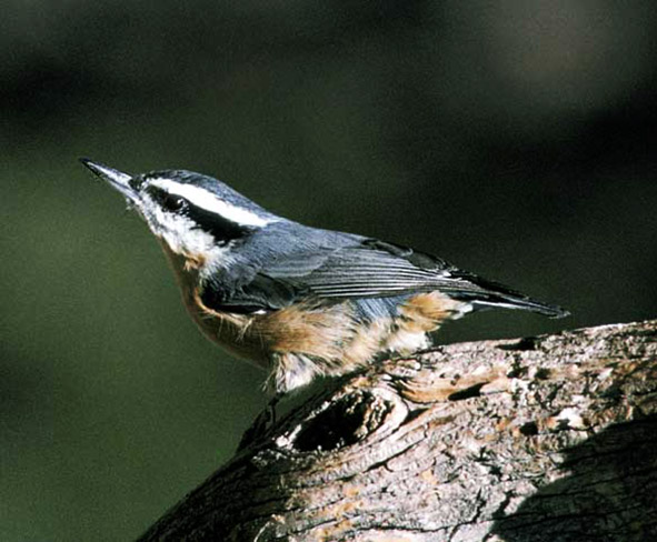 Red-breasted Nuthatch clipart #4, Download drawings