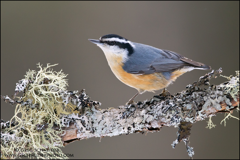 Red-breasted Nuthatch clipart #2, Download drawings
