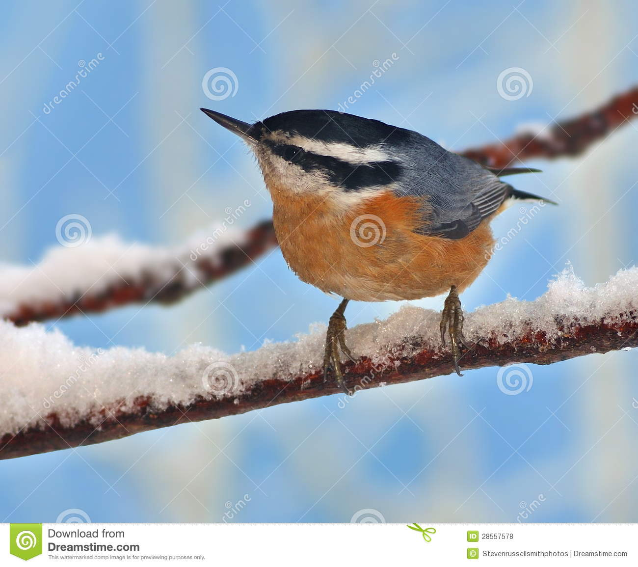 Red-breasted Nuthatch clipart #6, Download drawings