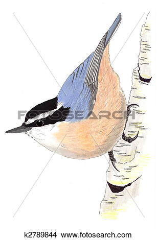 Red-breasted Nuthatch clipart #15, Download drawings