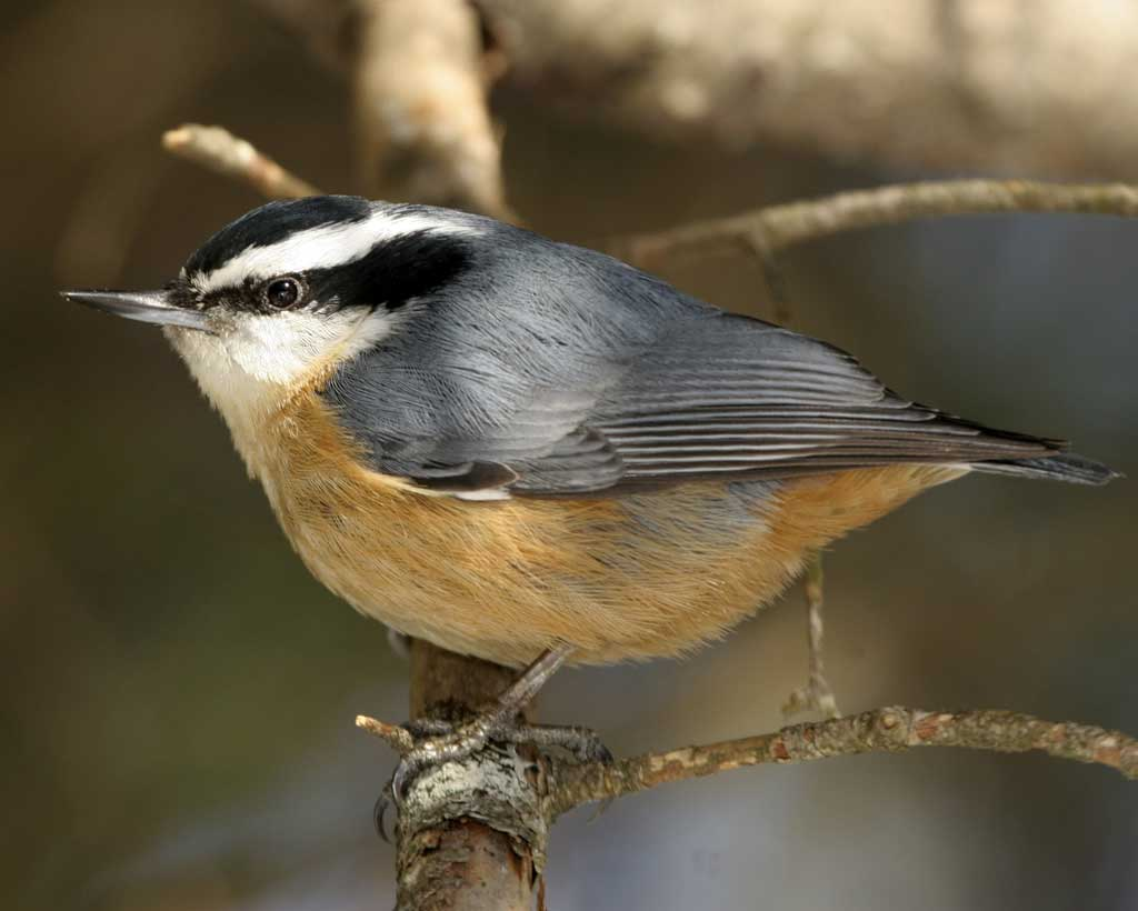 Red-breasted Nuthatch clipart #12, Download drawings