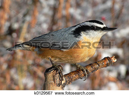 Red-breasted Nuthatch clipart #11, Download drawings