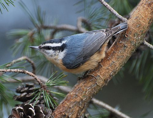 Red-breasted Nuthatch coloring #3, Download drawings