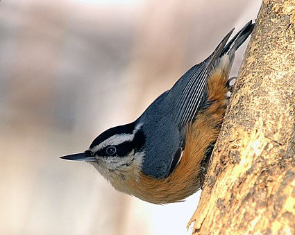 Red-breasted Nuthatch coloring #7, Download drawings