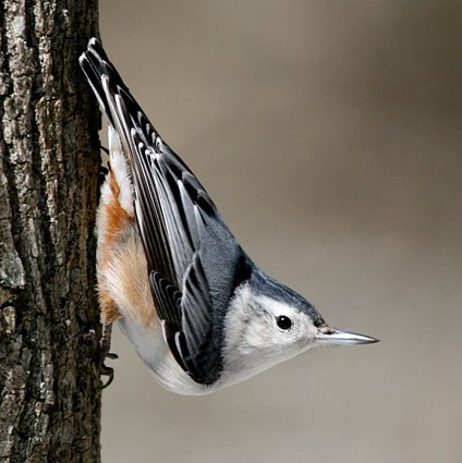 Red-breasted Nuthatch coloring #6, Download drawings
