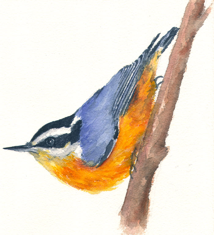 Red-breasted Nuthatch coloring #9, Download drawings