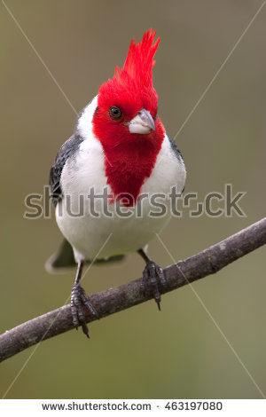 Red-Crested Cardinal clipart #15, Download drawings
