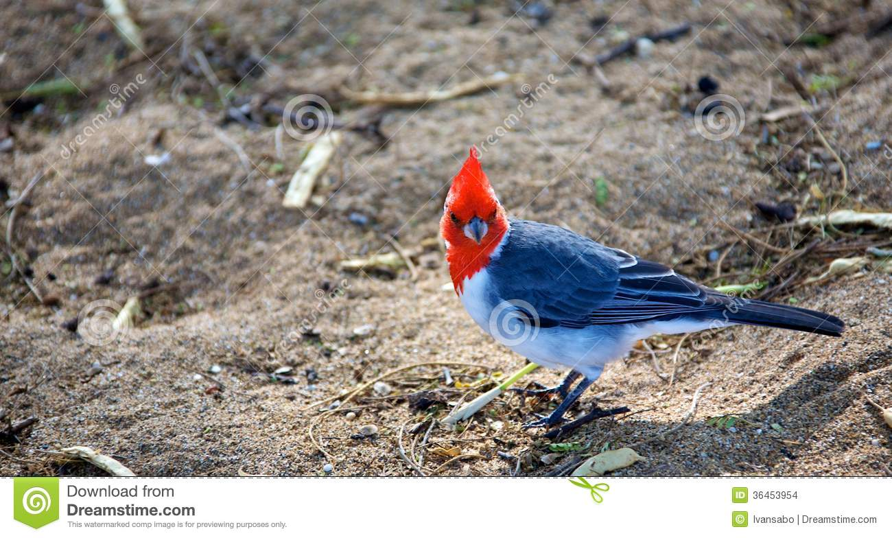 Red-Crested Cardinal clipart #10, Download drawings