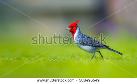 Red-Crested Cardinal clipart #6, Download drawings