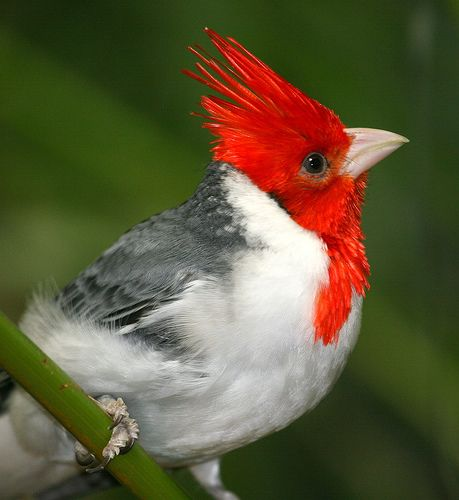 Red-Crested Cardinal clipart #5, Download drawings