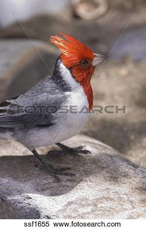 Red-Crested Cardinal clipart #19, Download drawings