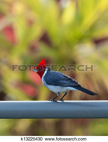 Red-Crested Cardinal clipart #18, Download drawings