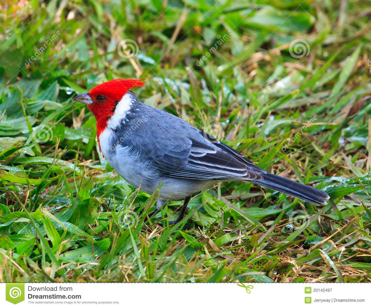 Red-Crested Cardinal clipart #14, Download drawings