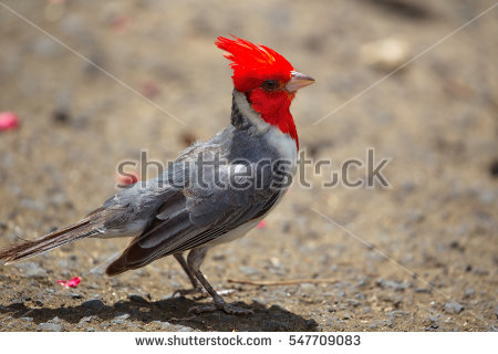 Red-Crested Cardinal clipart #7, Download drawings