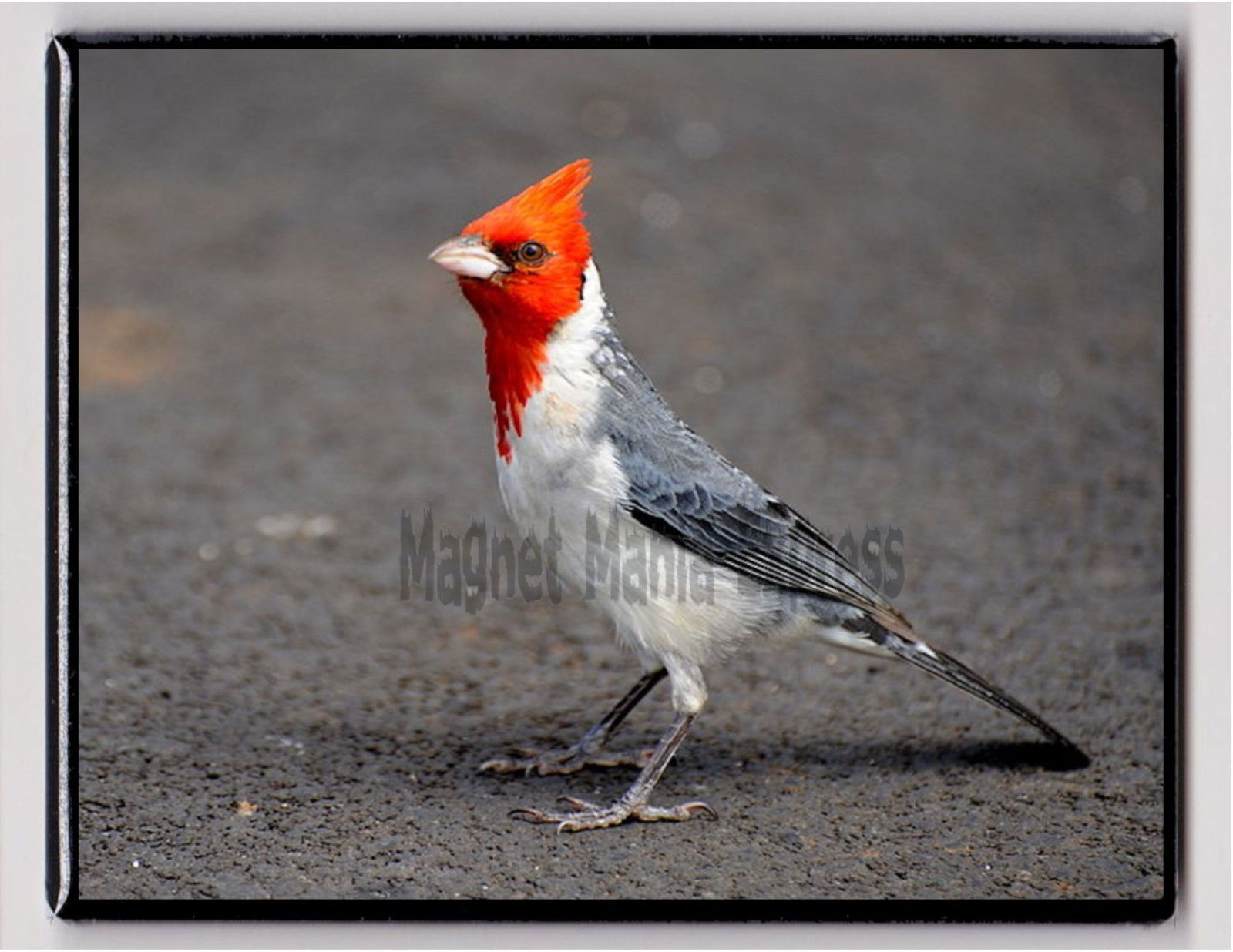 Red-Crested Cardinal svg #17, Download drawings