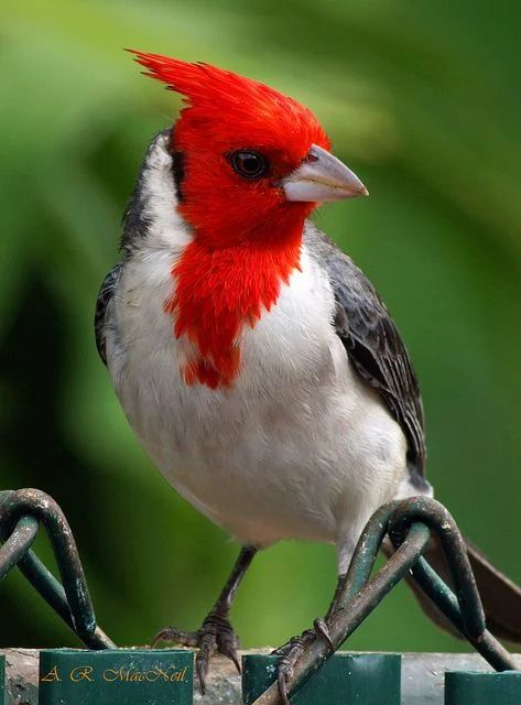 Red-Crested Cardinal svg #16, Download drawings