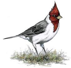 Red-Crested Cardinal svg #4, Download drawings