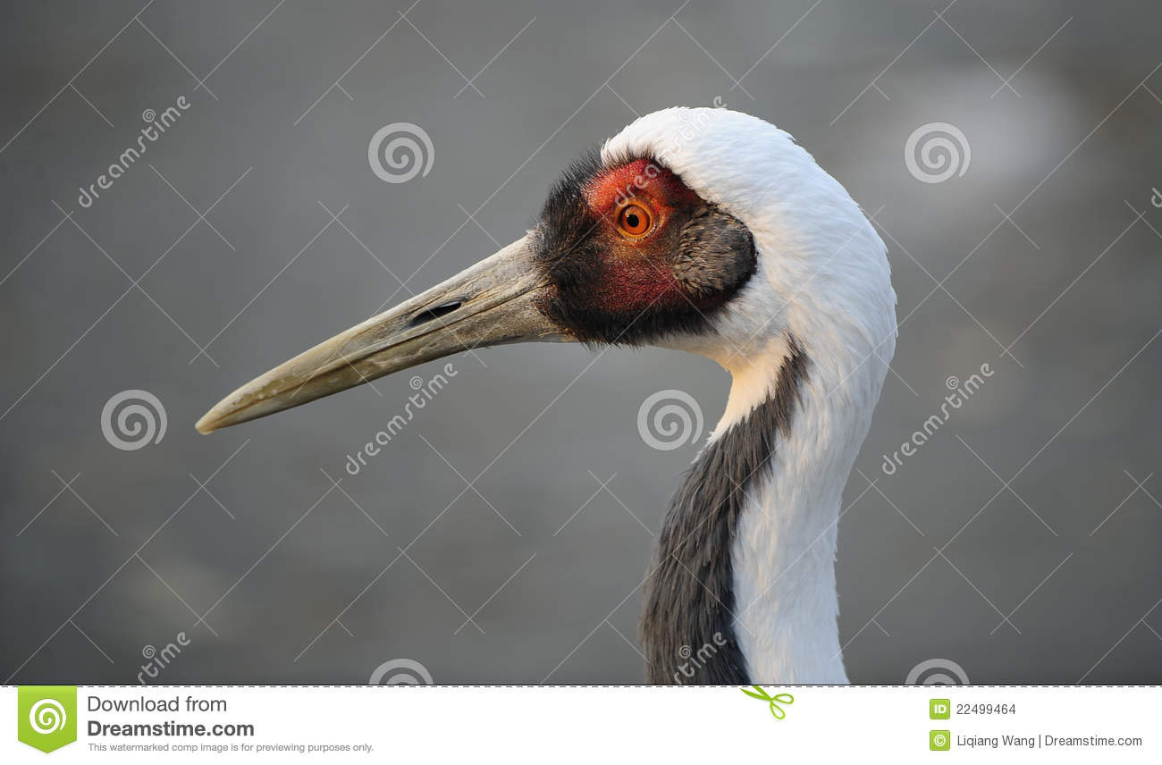 Red-crowned Crane clipart #8, Download drawings