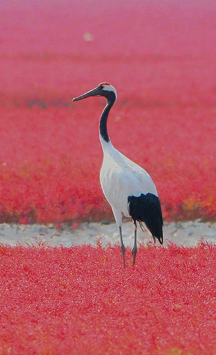 Red-crowned Crane svg #9, Download drawings