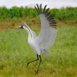 Red-crowned Crane svg #8, Download drawings