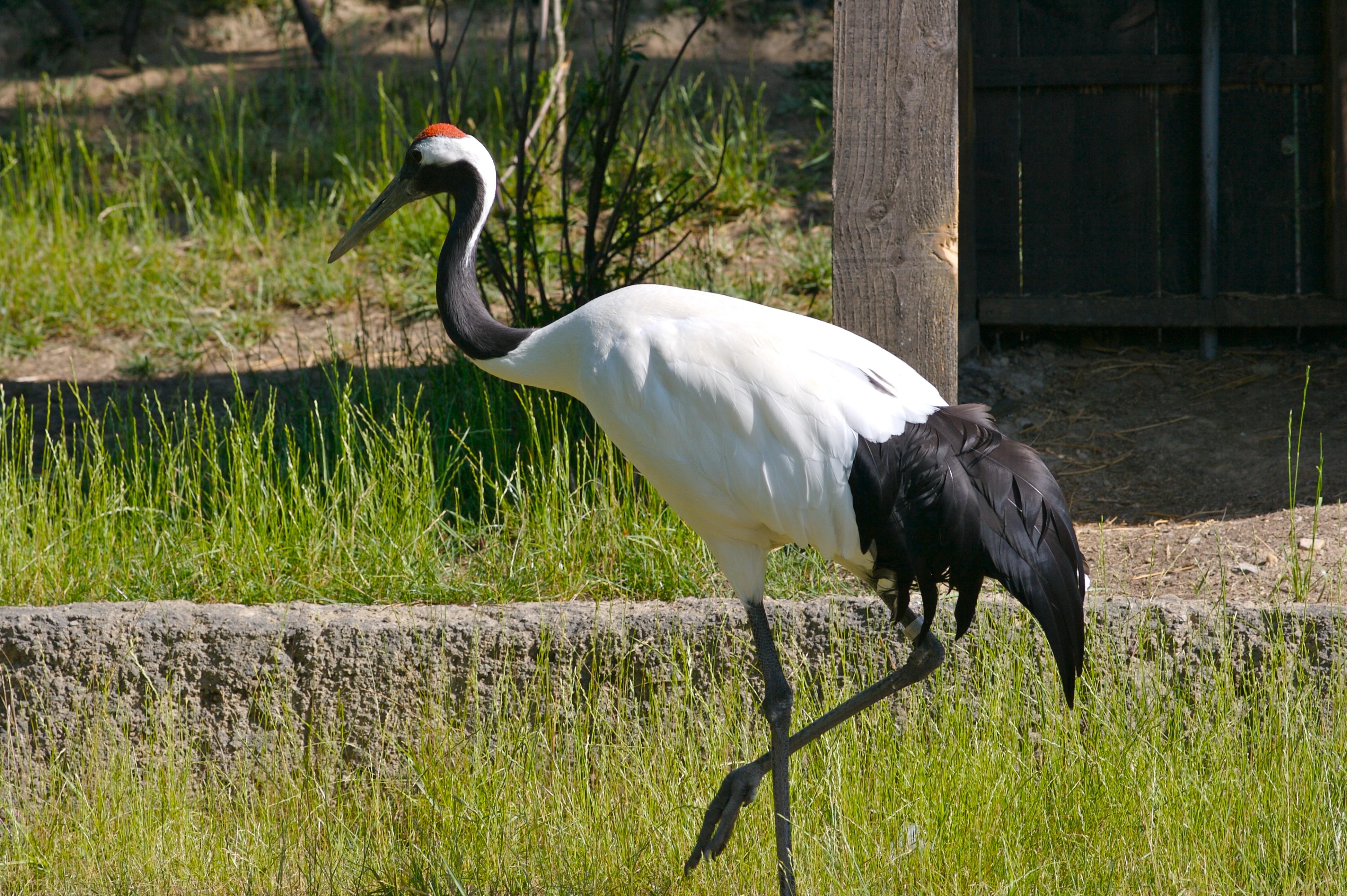 Red-crowned Crane svg #14, Download drawings