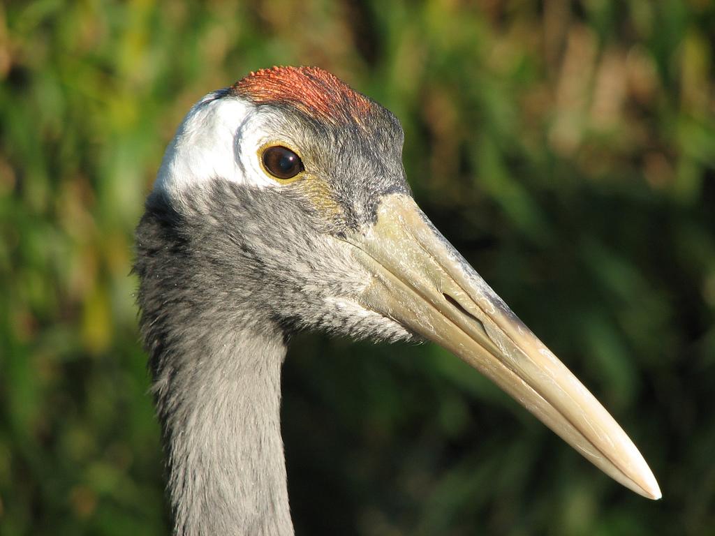 Red-crowned Crane svg #1, Download drawings