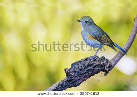Red-flanked Bluetail clipart #8, Download drawings
