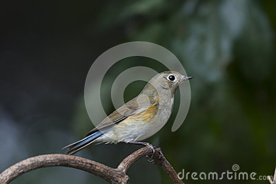 Red-flanked Bluetail clipart #11, Download drawings