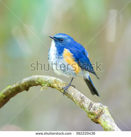 Red-flanked Bluetail clipart #3, Download drawings