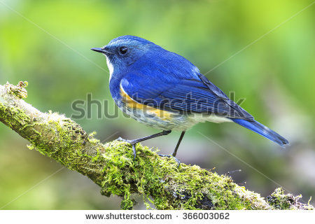 Red-flanked Bluetail clipart #9, Download drawings