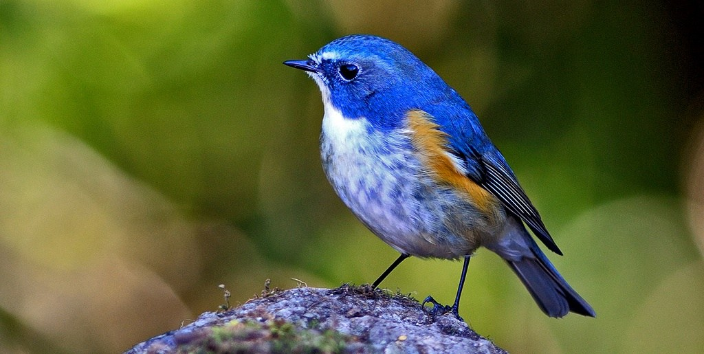 Red-flanked Bluetail coloring #1, Download drawings