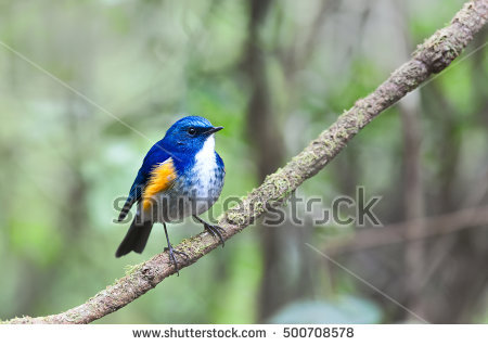 Red-flanked Bluetail coloring #10, Download drawings