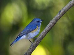 Red-flanked Bluetail coloring #3, Download drawings