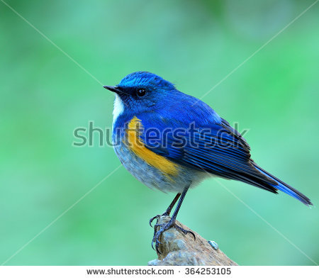 Red-flanked Bluetail coloring #5, Download drawings