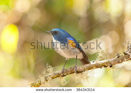 Red-flanked Bluetail coloring #4, Download drawings