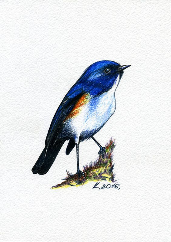 Red-flanked Bluetail coloring #12, Download drawings