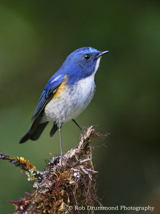 Red-flanked Bluetail coloring #6, Download drawings