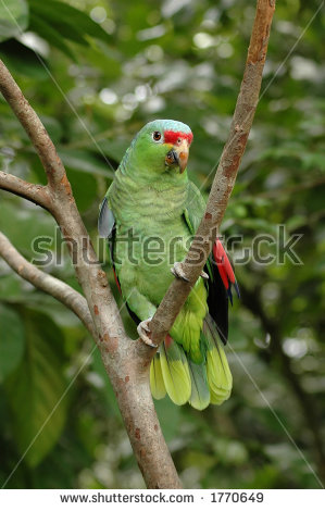 Red-lored Parrot clipart #7, Download drawings