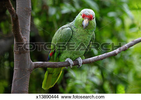 Red-lored Parrot clipart #16, Download drawings