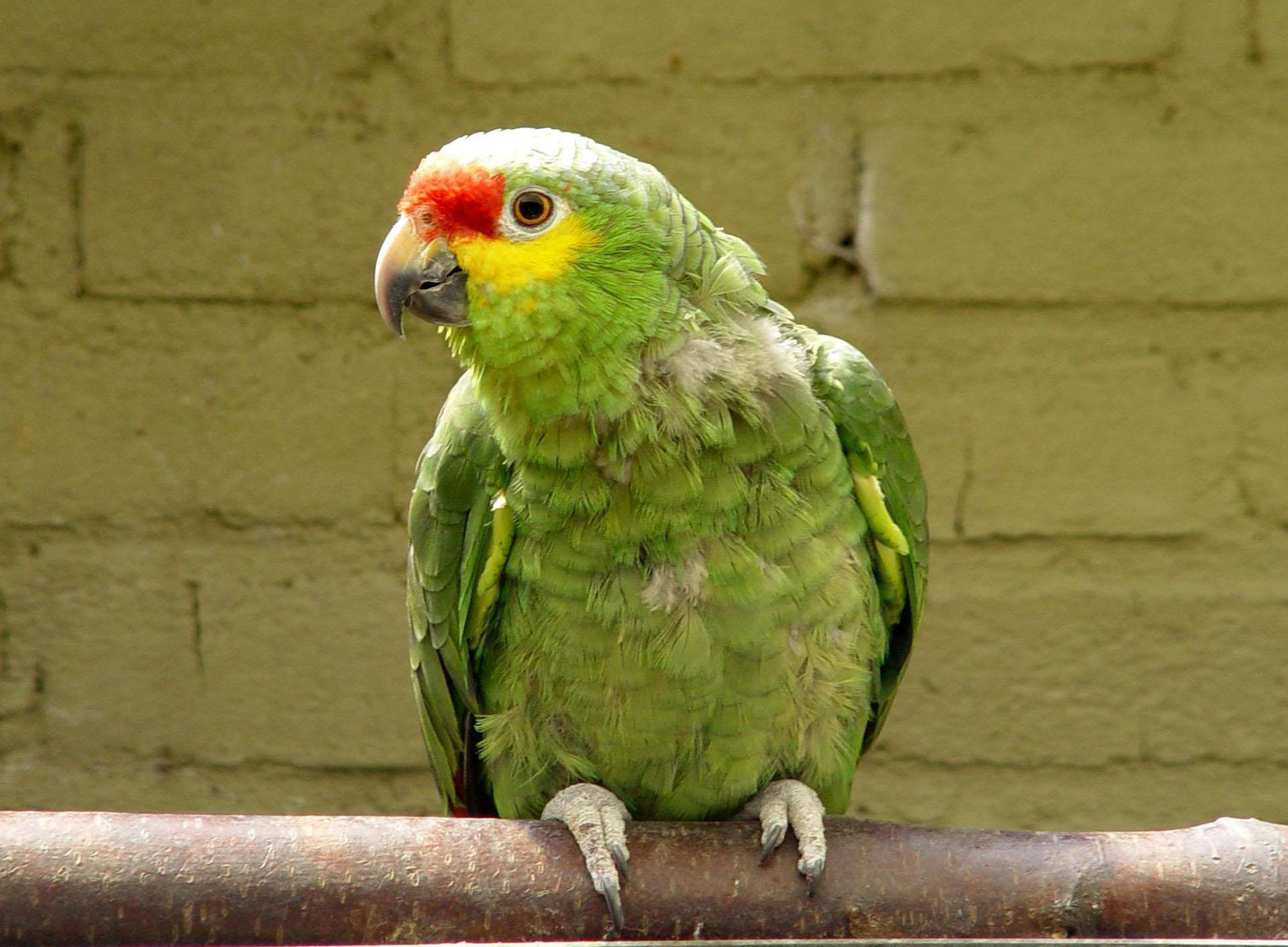 Red-lored Parrot clipart #17, Download drawings