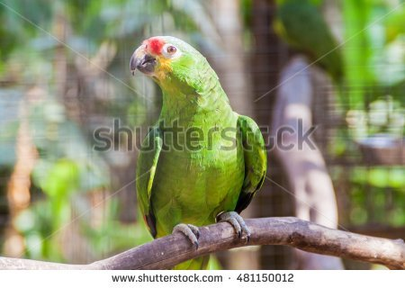 Red-lored Parrot clipart #6, Download drawings